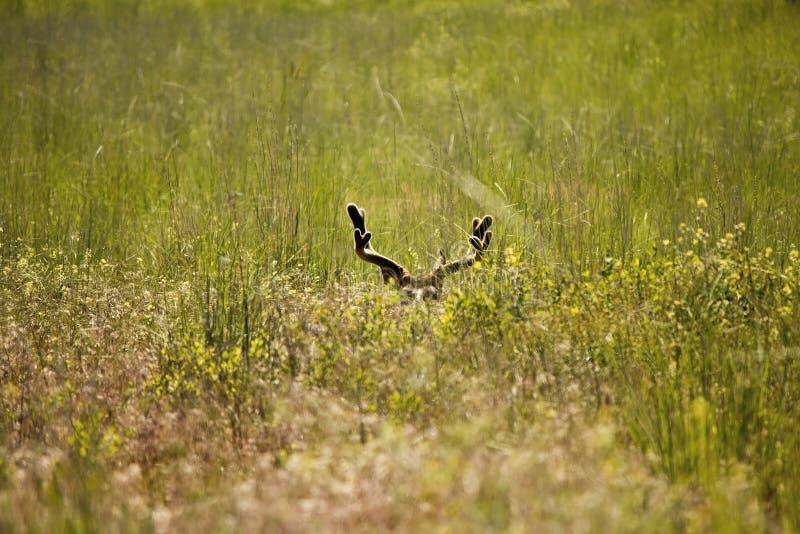 Bedded Mule Deer Buck. Sun-bathing mule deer buck in velvet stock images