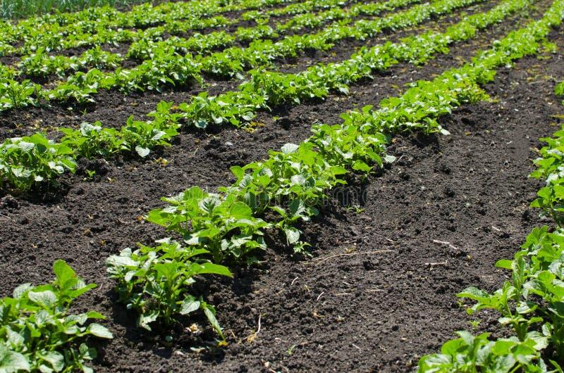 Bedden van het stijgen potatoesBeds van stijgende aardappels agronomie stock foto