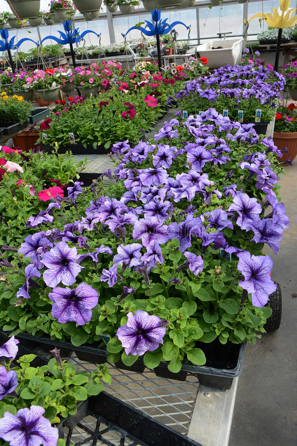 Free Bedding Plants In Color 5 Royalty Free Stock Image - 40894646