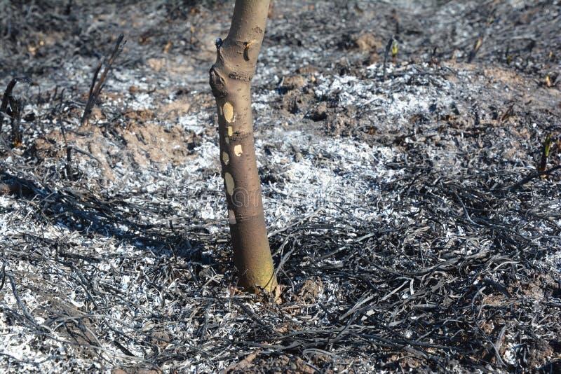 Bedecken Sie brennenden Schaden auf dem Obstbaum mit Gras Brennendes Gras gibt mehr Stickstoffverschmutzung als brennendes Holz f stockbild