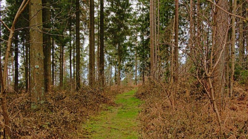 Bedecken Sie Weg durch einen Kiefernwald in der wallonischen Landschaft mit Gras stockbilder
