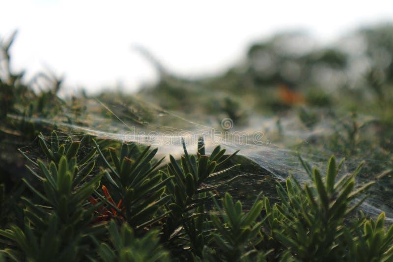 Bedeckte Kiefer des Spinnennetzes lizenzfreie stockfotografie