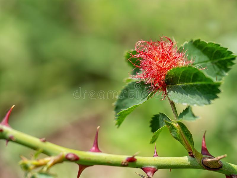 Rose gall on rose plant. Bedeguar gall, caused by parasitic mossy rose gall wasp. Diplolepis rosae royalty free stock images