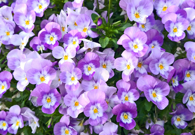 Bedflower of pink violas. Bunch of pink and white violas with characteristic heart-shaped petal form and scalloped leaves stock image