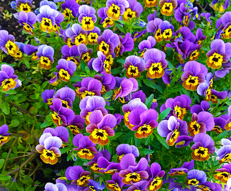 Bedflower of purple and yellow violas stock photography
