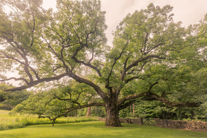 Bedford Oak fotografia stock