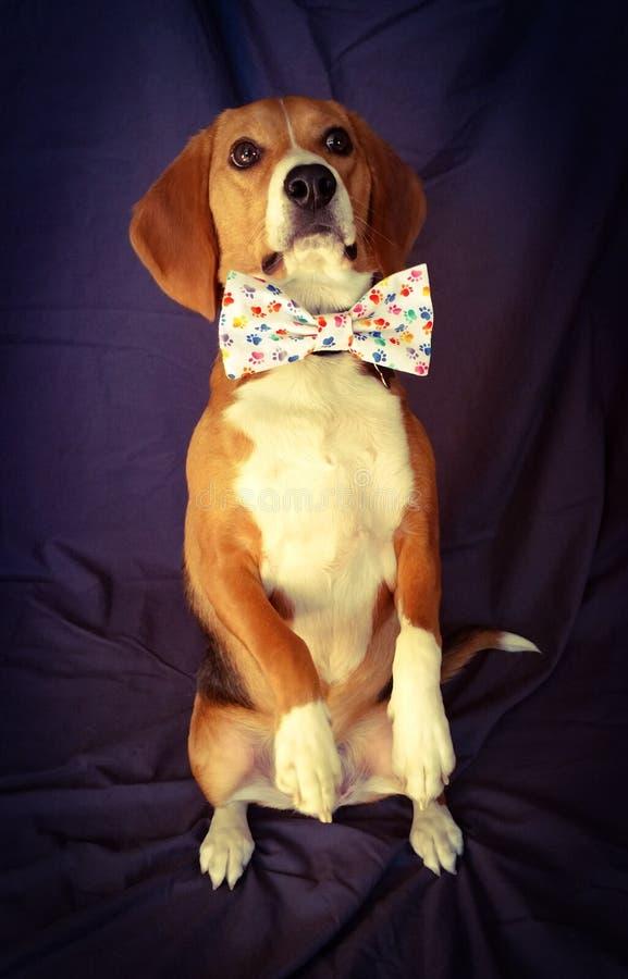 Bedjande beagle Bowtie royaltyfria foton