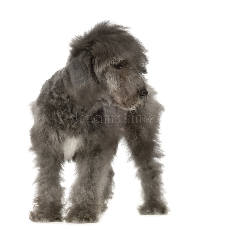 Download Bedlington Terrier stock image. Image of friend, adorable - 2321813