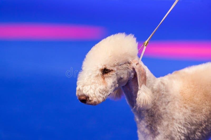 Bedlington Terrier photographie stock libre de droits