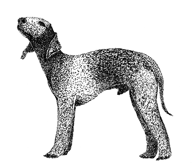 Bedlington terrier royalty free stock image