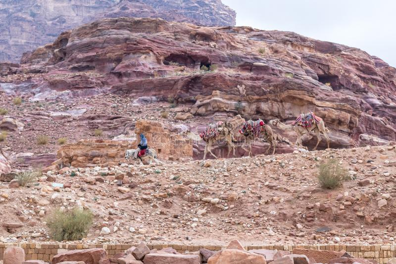 Bedouin - the driver rides a donkey and holds three camels in Petra - the capital of the Nabatean kingdom in Wadi Musa city in Jor stock photos