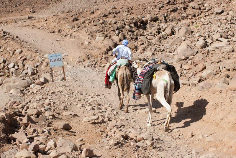 Bedouin kameelvervoer langs het overzees op het Sinai Schiereiland stock afbeelding