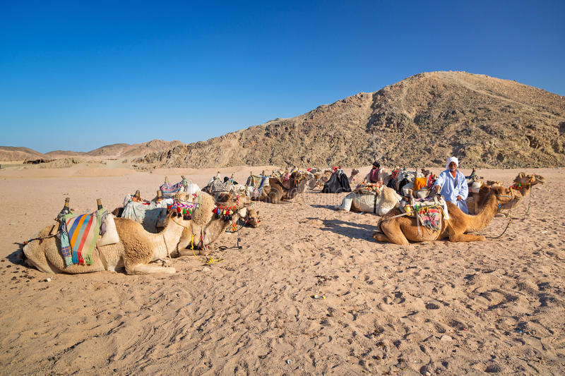 Download Bedouin People With Camels Resting On Desert In Egypt Editorial Image - Image: 31036360