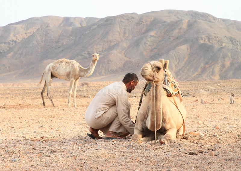 Bedouin preparing camel for ride royalty free stock photography