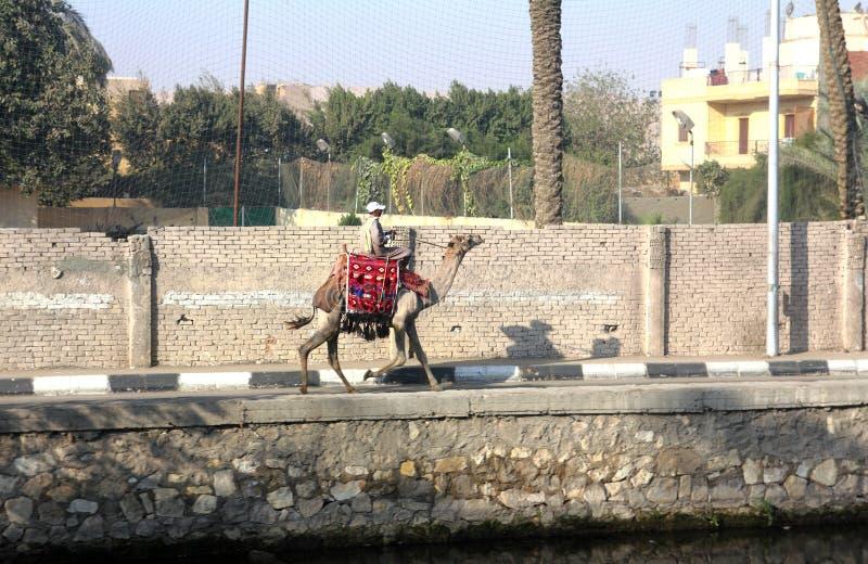 Bedouin sul cammello a Cairo immagini stock