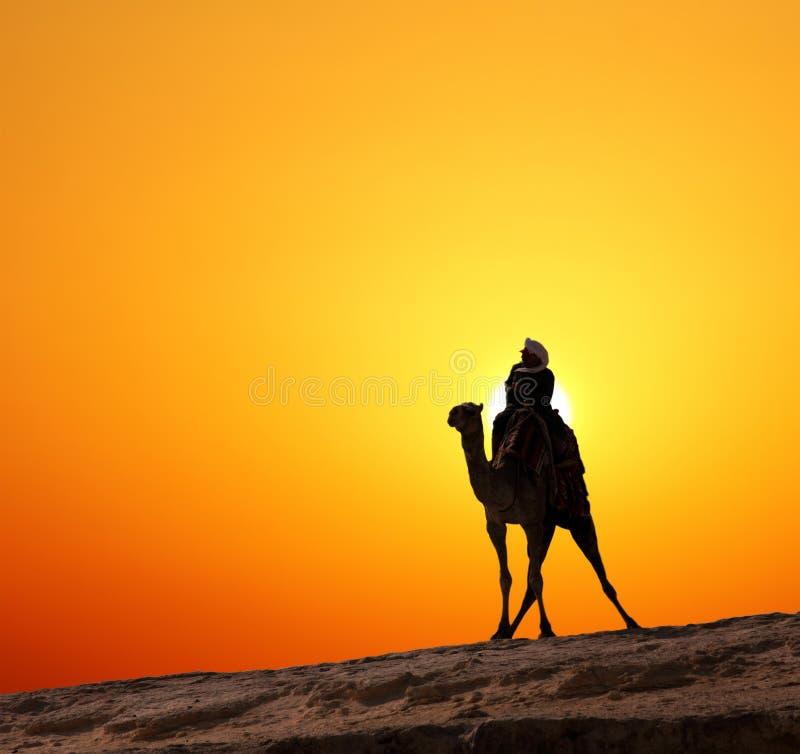 Bedouin sulla siluetta del cammello contro alba fotografie stock