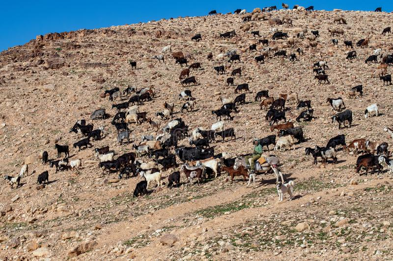 Bedouins Flock of Sheep royalty free stock images
