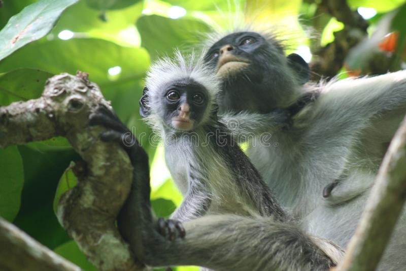 Bedreigde aap rode colobus Piliocolobus, Procolobus-kirkiimoeder en babyzitting samen in de bomen van Jozani-Bos, stock foto