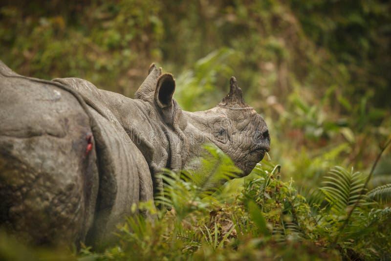 Bedreigde Indische rinoceros in de aardhabitat royalty-vrije stock afbeeldingen