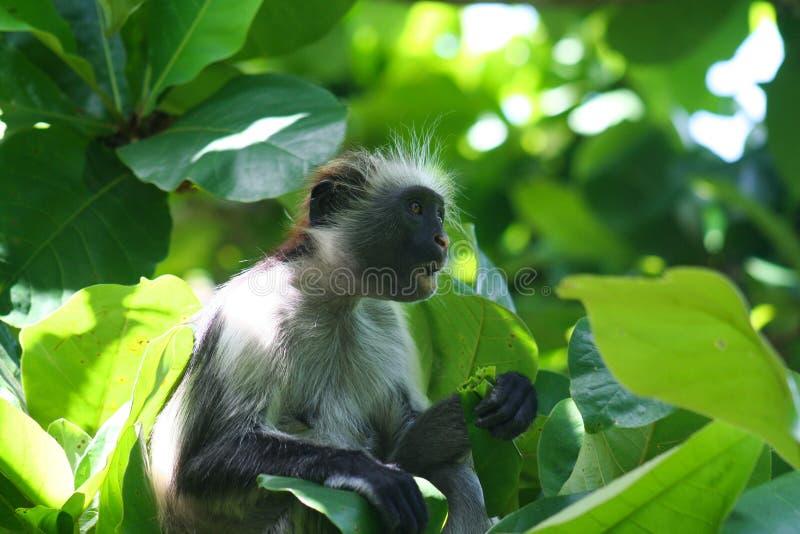bedreigde jonge rode colobusaap Piliocolobus die, Procolobus-kirkii een blad in de bomen eten royalty-vrije stock foto's