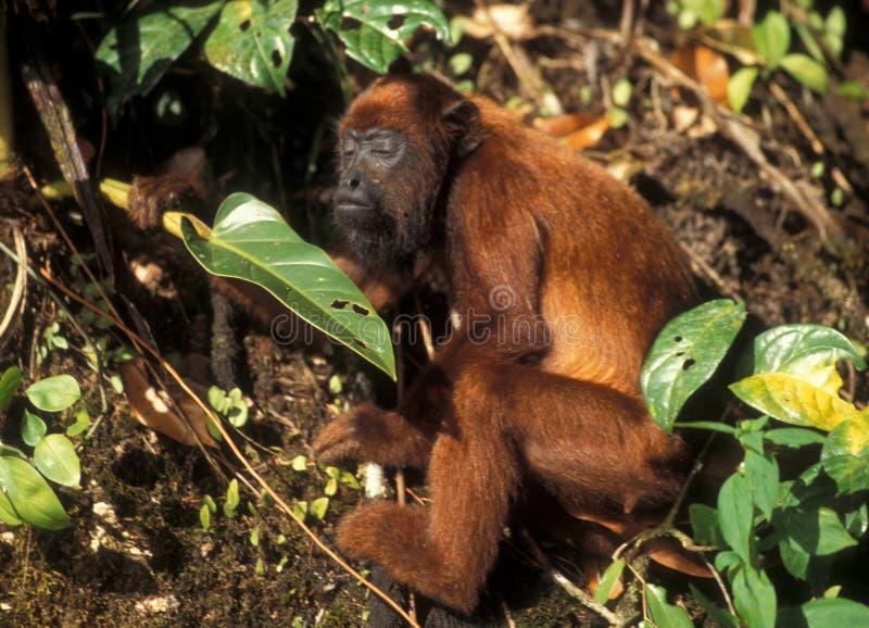 Bedreigde species: Orang-oetan Utan in Borneo royalty-vrije stock foto's