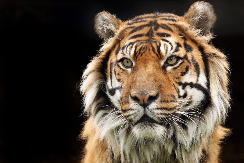 Bedreigde Tijger Sumatran royalty-vrije stock afbeeldingen