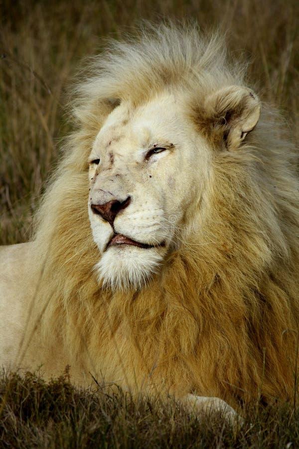 Bedreigde witte leeuwen van timbervati royalty-vrije stock afbeelding
