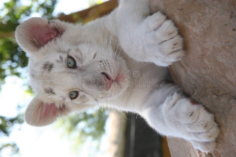 Bedreigde witte leeuwkop in Outshoorn stock afbeeldingen