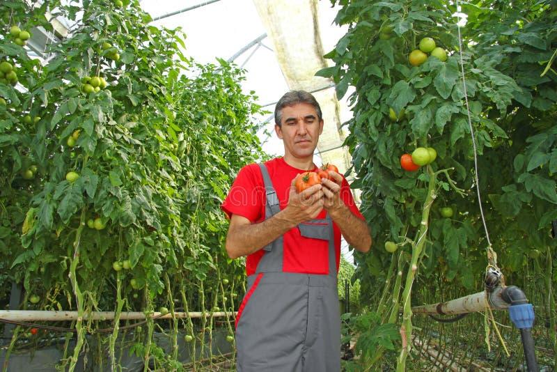 Bedrijfsmedewerker het plukken tomaat stock foto's