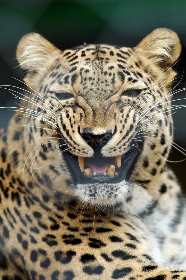 Bedrohender Leopard lizenzfreie stockbilder