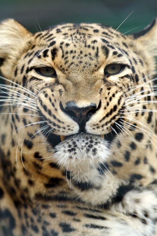 Bedrohender Leopard lizenzfreie stockfotos
