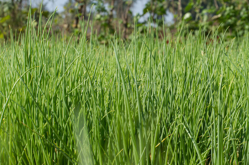 Beds with a green onion. Background, texture, macro. Onion, hairdo, grass, Field, peasant gardens, cultivate, background, texture, modern village, fertility royalty free stock photo