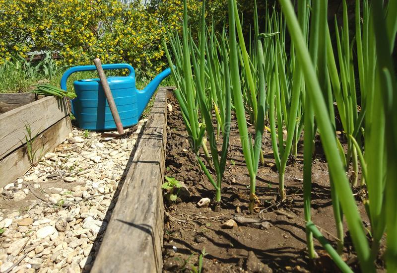 beds with green onions and stony path between them stock image
