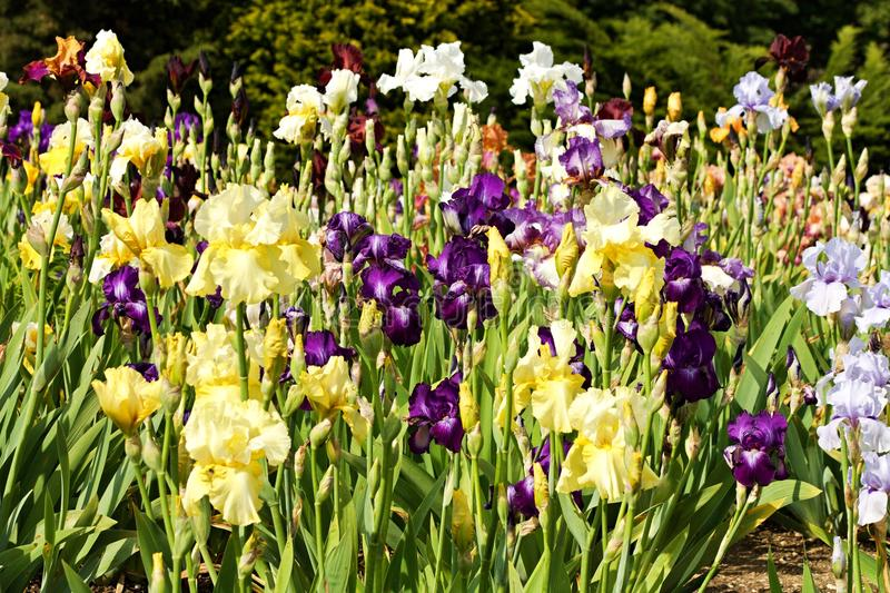 Beds of irises. Ornamental flower bed full of blooming irises stock photography