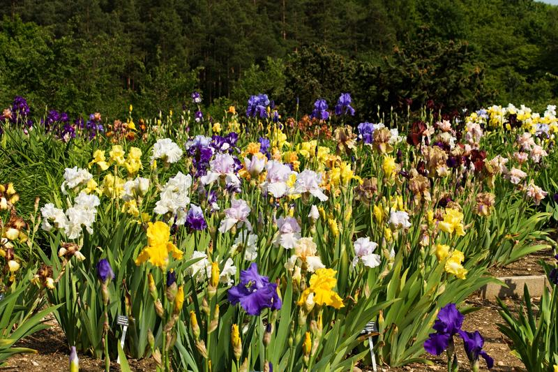 Beds of irises. Ornamental flower bed full of blooming irises royalty free stock images