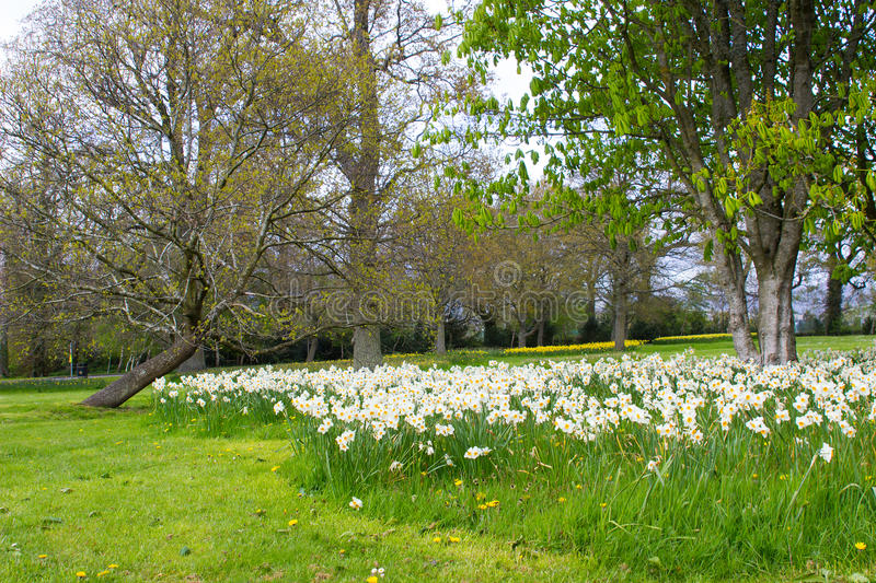 Beds of white narcissus and yellow daffodils in the public park in Barnett`s Desmesne in late April just before the blooms finally royalty free stock images