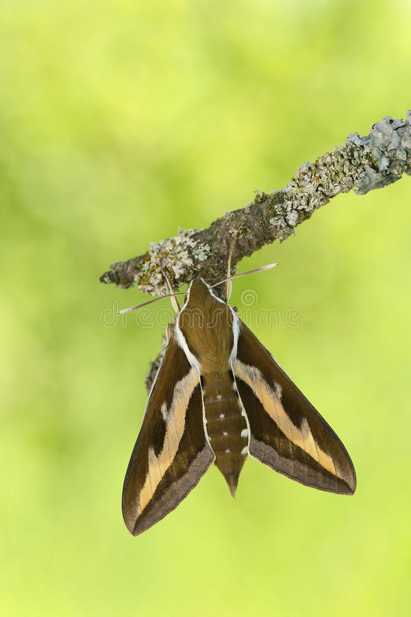 Free Bedstraw Hawk-mothHyles Gallii Stock Photos - 82105053