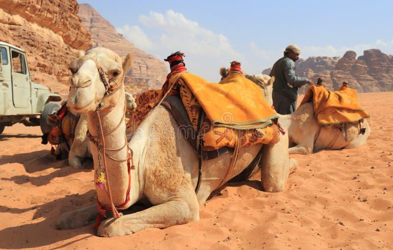 Beduíno e seus camelos imagens de stock