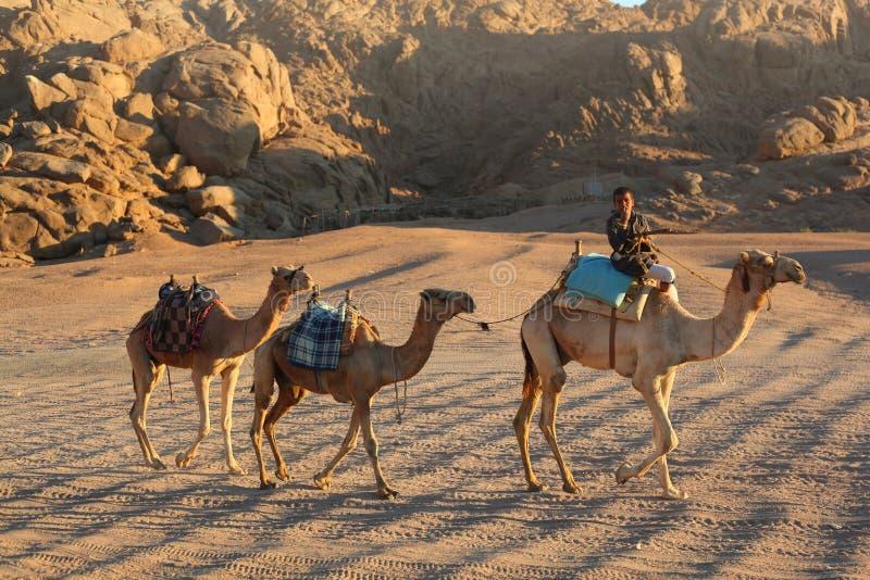 Beduińskiej przejażdżki wielbłądzia karawana chociaż pustynia zdjęcie stock