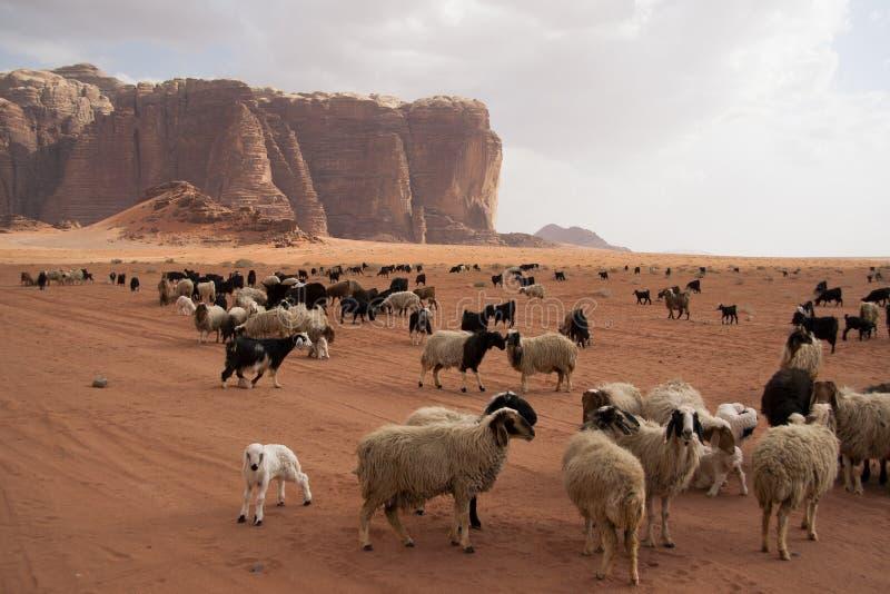 beduin pustyni stada cakle zdjęcia royalty free