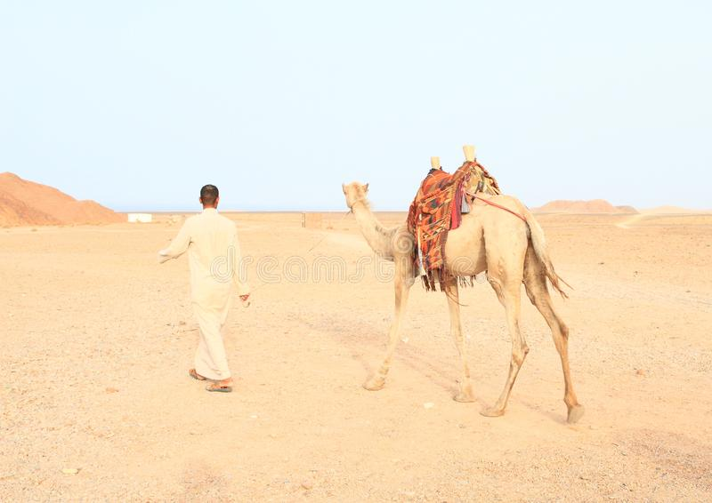 Beduin som går med den sadlade kamlet royaltyfri fotografi