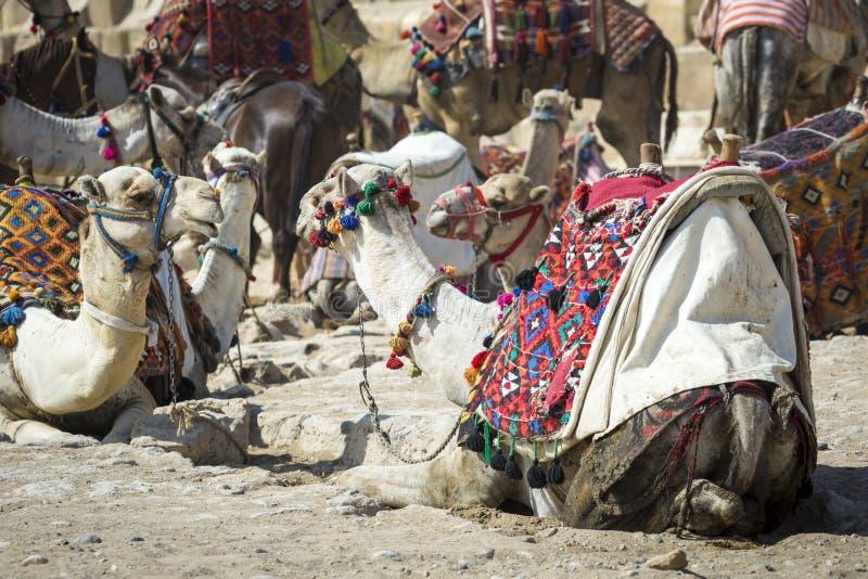 Beduinische Kamele stehen nahe den Pyramiden, Kairo, Ägypten still lizenzfreie stockfotografie