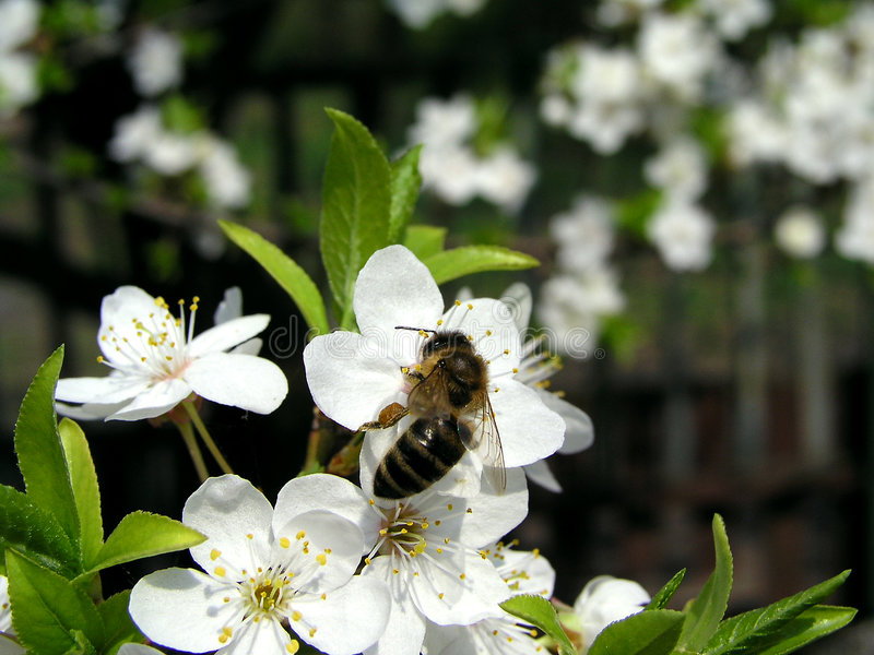 Download Bee 1 stock image. Image of hairy, nature, sweet, white - 129303