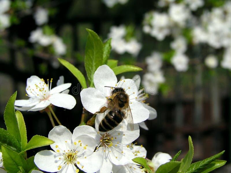 Download Bee 1 obraz stock. Obraz złożonej z dobry, liść, cukierki - 129303