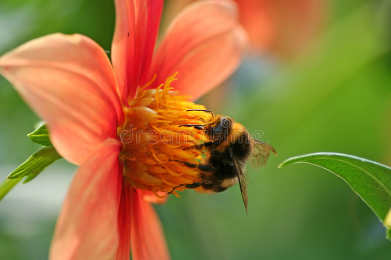 Download A bee stock photo. Image of nature, collect, summer, macro - 1043280