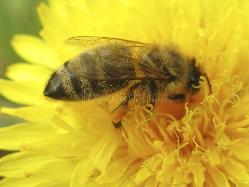 Download The Bee stock photo. Image of flowering, animal, insect - 106044