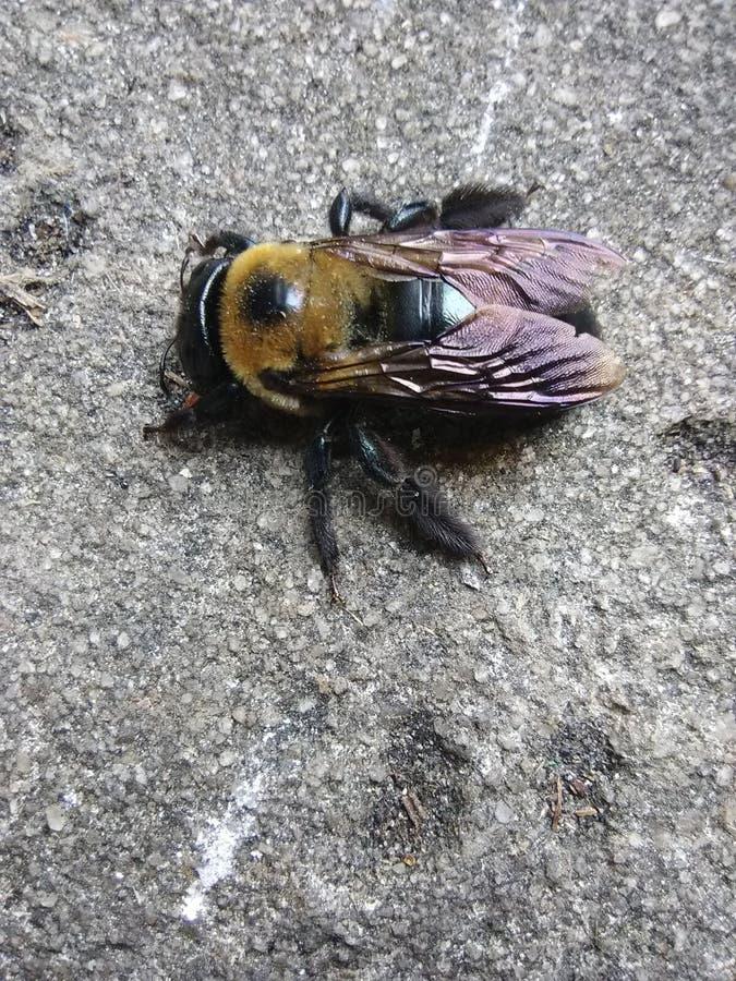 Bee2 fotografia stock