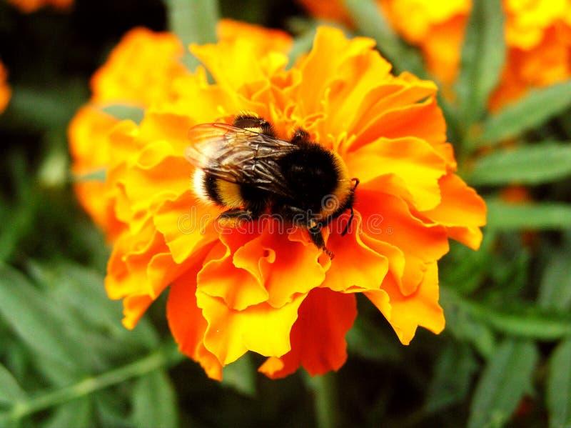 Download Bee stock photo. Image of breeze, flower, bittern, detail - 121272