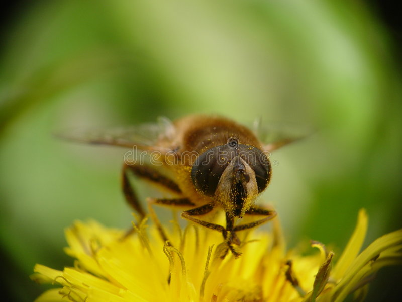 Bee. Close-up view of eyes of bee on dandelion stock photos