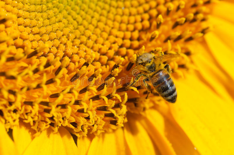 Download Bee stock photo. Image of season, nature, countryside - 15580722